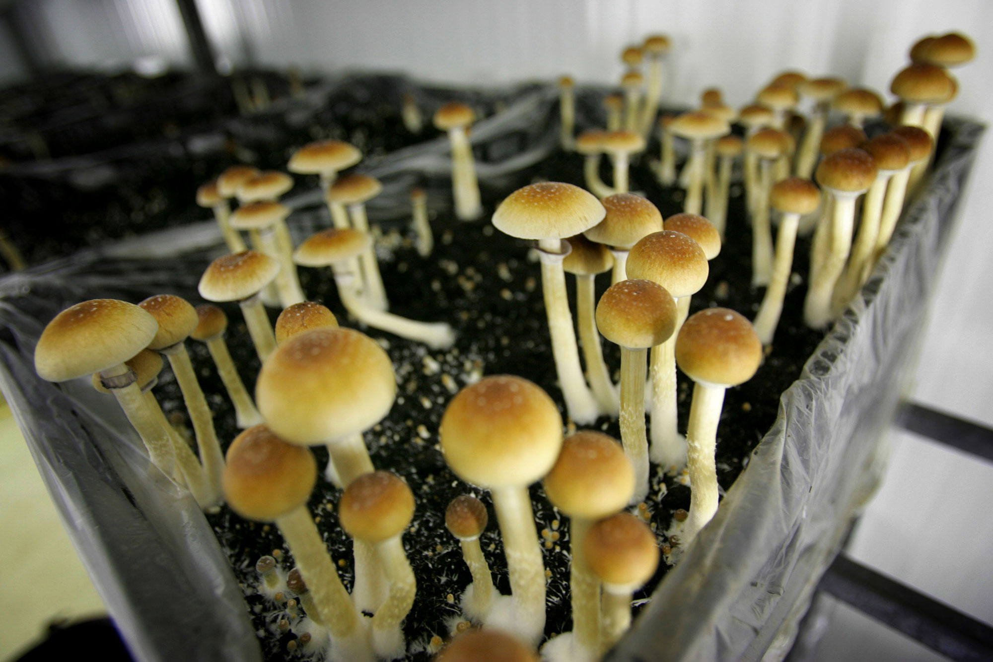 <p>Magic mushrooms are seen in a grow room at the Procare farm in Hazerswoude, central Netherlands on this Aug. 3, 2007 file photo.</p>