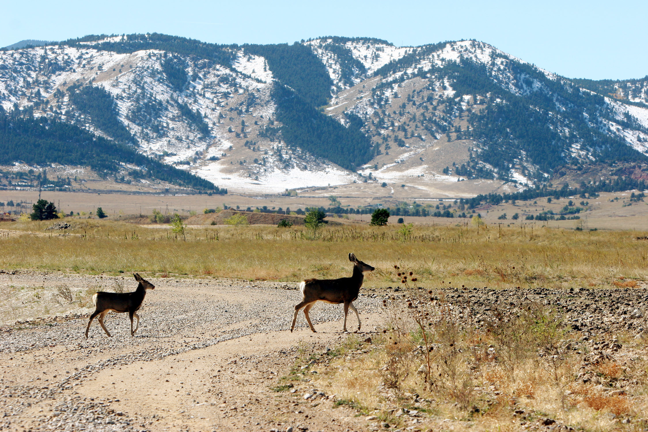 In this Oct. 13, 2005 file photo, deer cross a road stripped of its asphalt at the former Rocky Flats Nuclear Weapons plant near Golden, Colo.