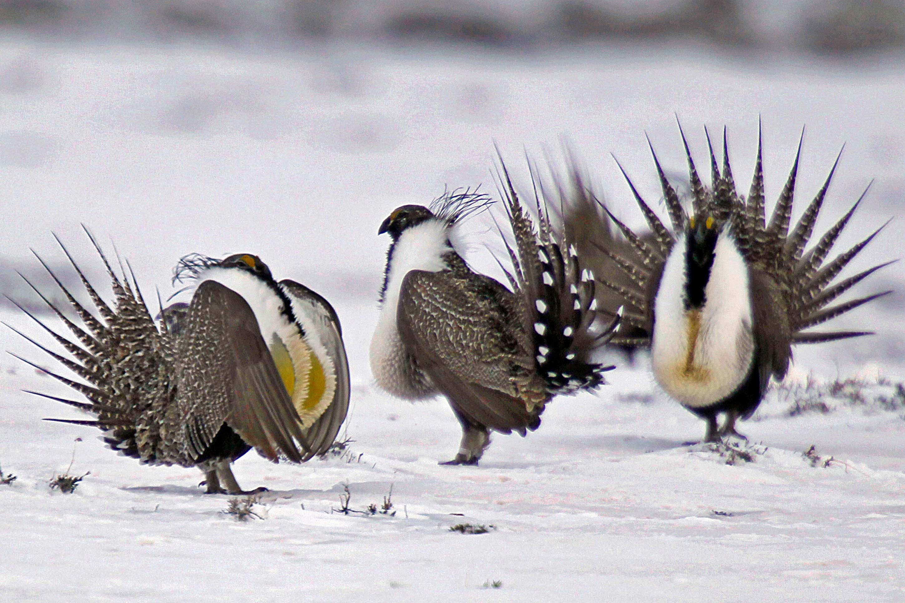 "<p>Male greater sage grouse perform mating rituals for a female grouse, not pictured, on a lake outside Walden, Colo., i<span style=""color: rgb(64, 69, 64);"">n April of 2013.</span></p>"