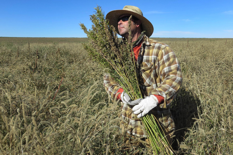 <p>Harvesting hemp in Springfield, Colorado.</p>