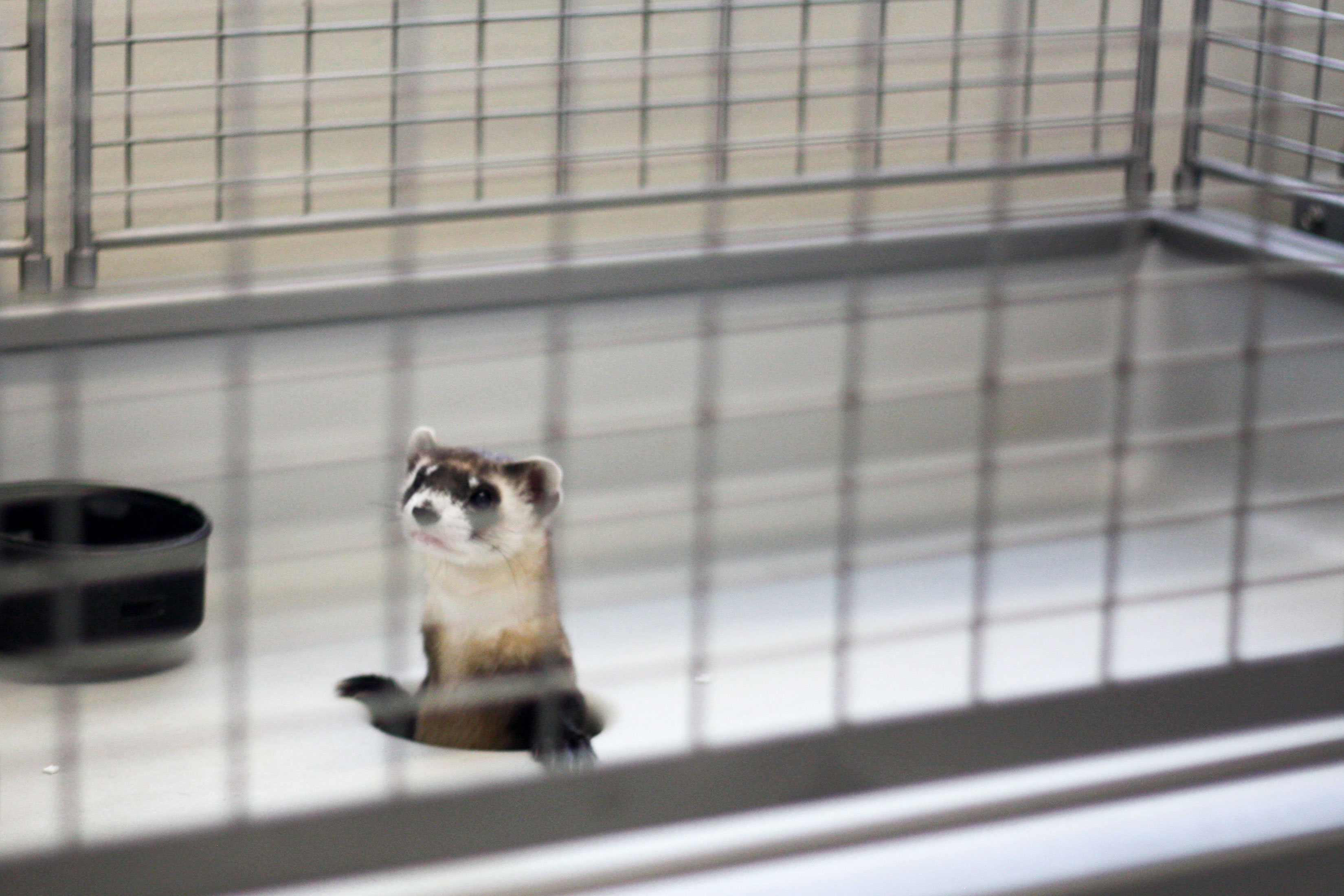 <p>A ferret pokes their head up in one of the cages inside the National Black-footed Ferret Conservation Center, in Fort Collins, Colo.</p>