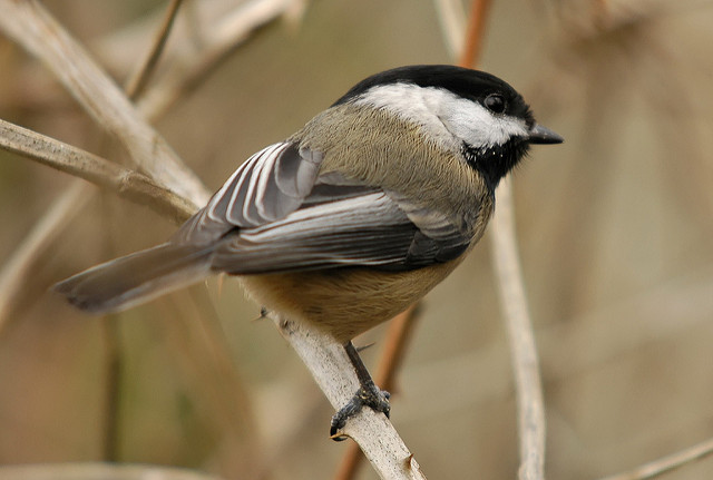 A Black-Capped Chickadee perches on a branch.