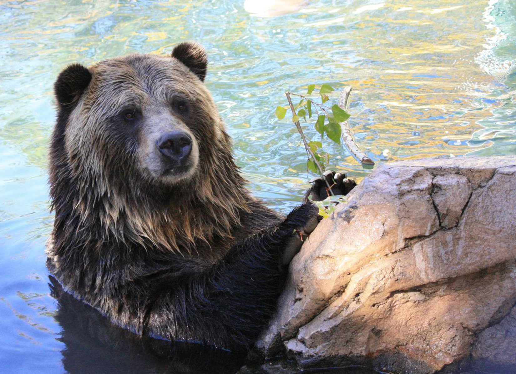 <p>A happier photo of a grizzly bear at the Cheyenne Mountain Zoo. A video taken <span>during a severe hailstorm in Colorado Springs on Monday, Aug. 6, 2018, showed</span> grizzly bears seeking shelter.</p>