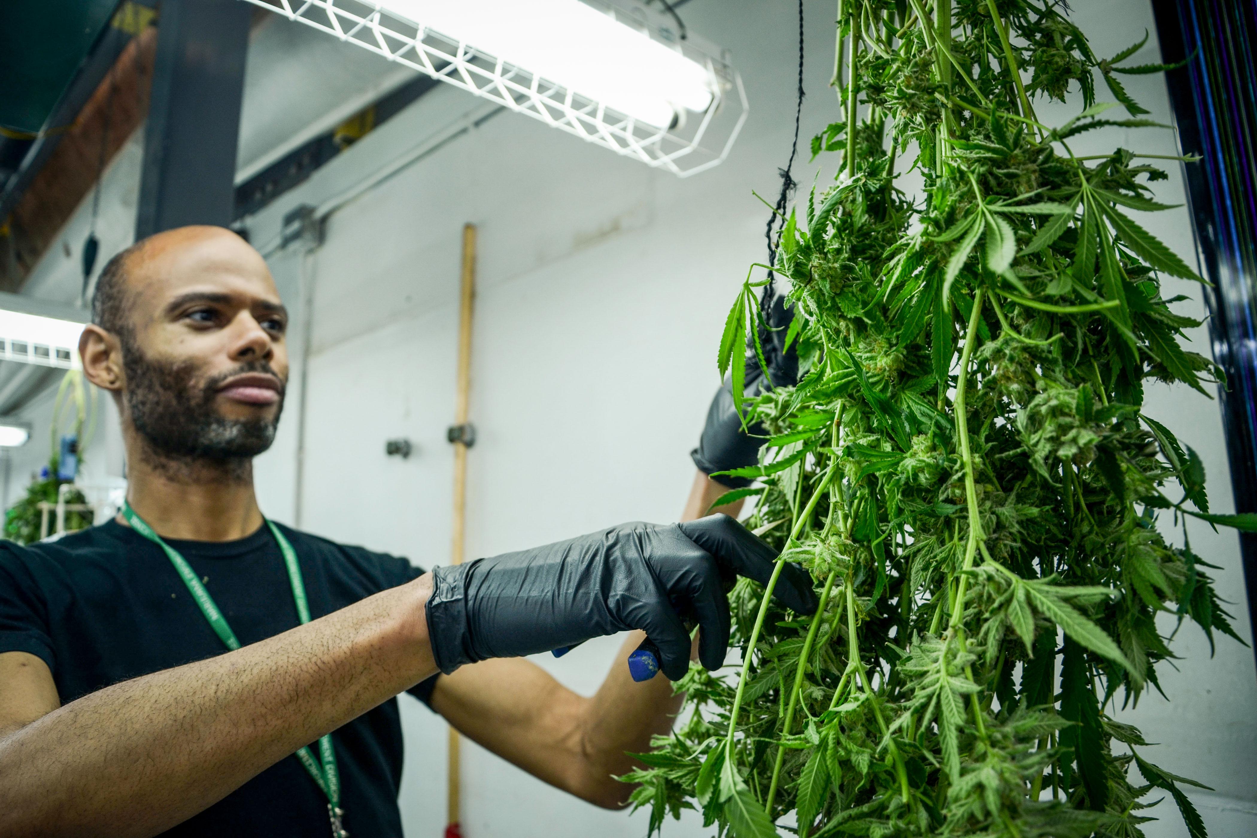 A LivWell employee trims marijuana plants at the company's grow facility in Denver, Colo.