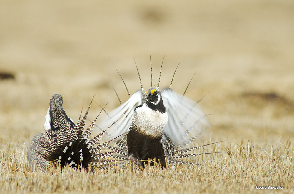 Gunnison sage-grouse males fighting, photographed on a lek (mating site) that's on private land in a pasture near Gunnison.