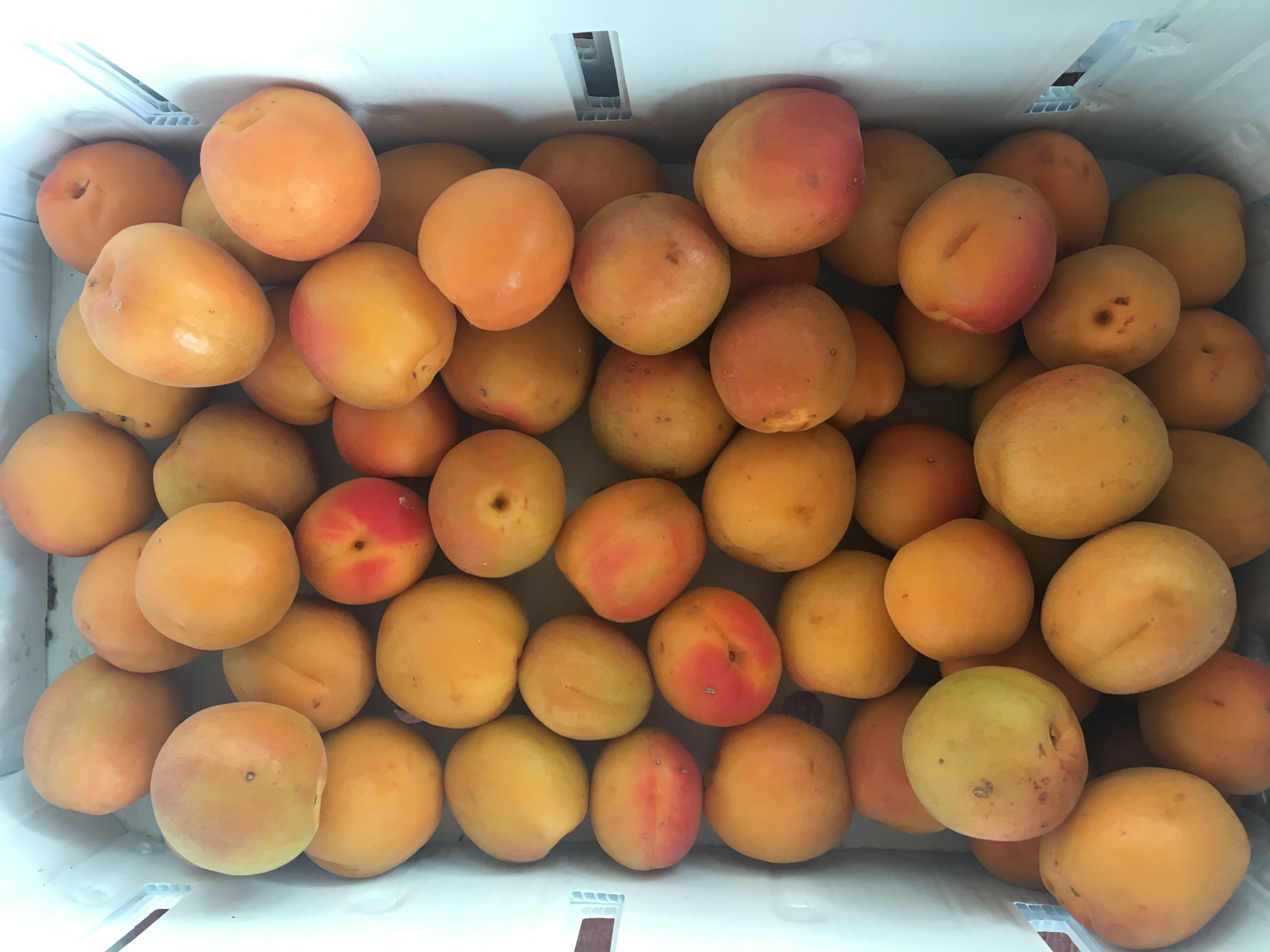 <p>Palisade orchards produced an unusually good apricot crop this summer.</p>