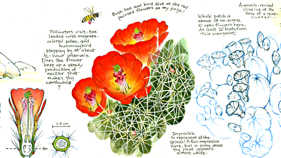 """<div><span style=""""line-height: 1.66667em;"""">""""Bees and hummingbirds were my frequent companions while drawing this cactus blooming in the Mojave Desert of California,"""" said</span><span style=""""line-height: 1.66667em;"""">Jenny Keller whose field journal is featured in the</span><span style=""""line-height: 1.66667em;"""">Denver Botanic Gardens' exhibit, Plants, Birds & Pollinators: Art Serving Science.</span></div>"""