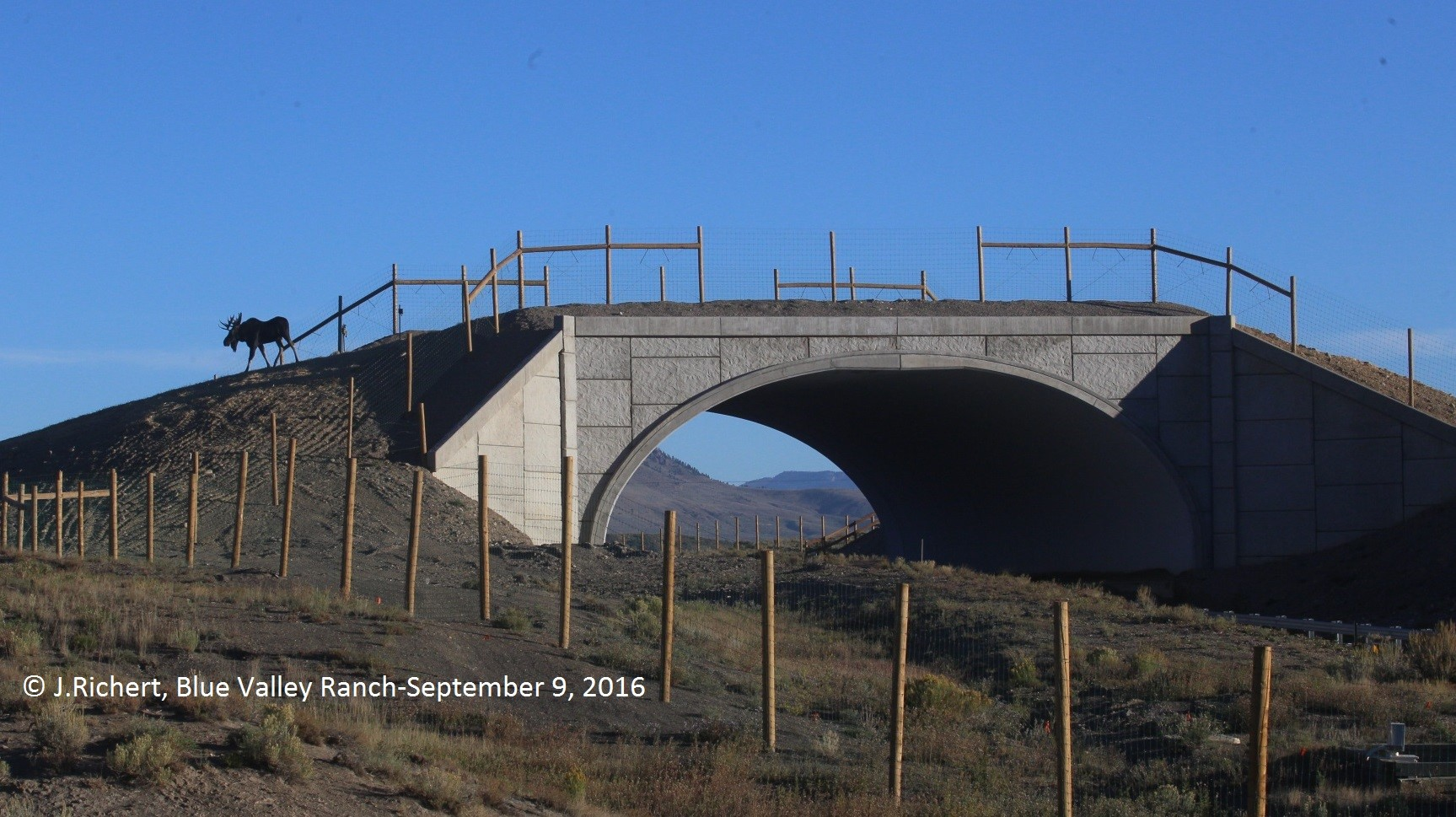 <p>A moose uses an overpass built by CDOTin an effort to reduce road kill on Colorado highways.</p>