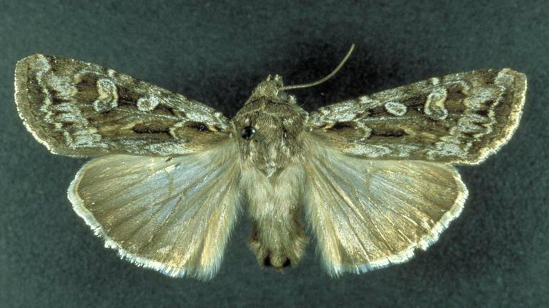 <p>An example of a Miller moth that migrates from the plains to the mountains of Colorado each year.</p>