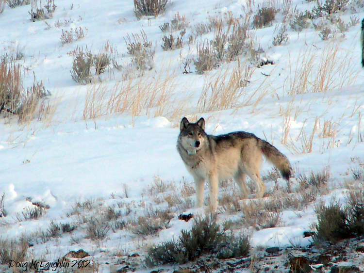 <p>O-Six, a wild wolf living in Yellowstone National Park, photographed from a nearby ranch.</p>