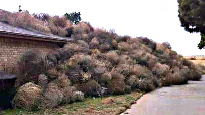 <p>Tumbleweeds piled up against a structure in Southern Colorado.</p>