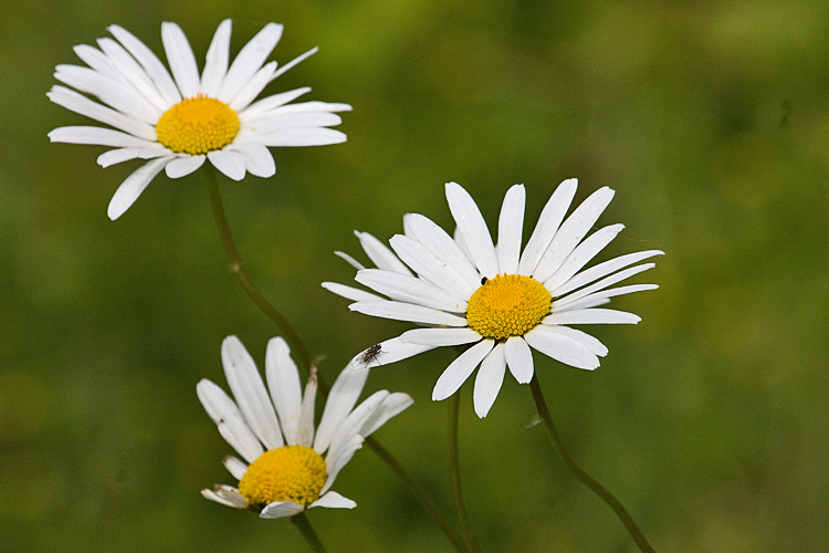 <p>A bevy of government agencies and counties are joining together to fight the spread of oxeye daisies, an invasive species.</p>