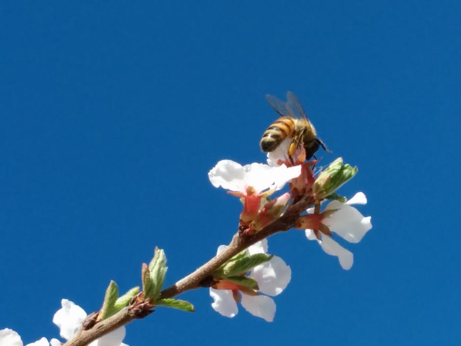 A bee pollinates a blossom in Lakewood.
