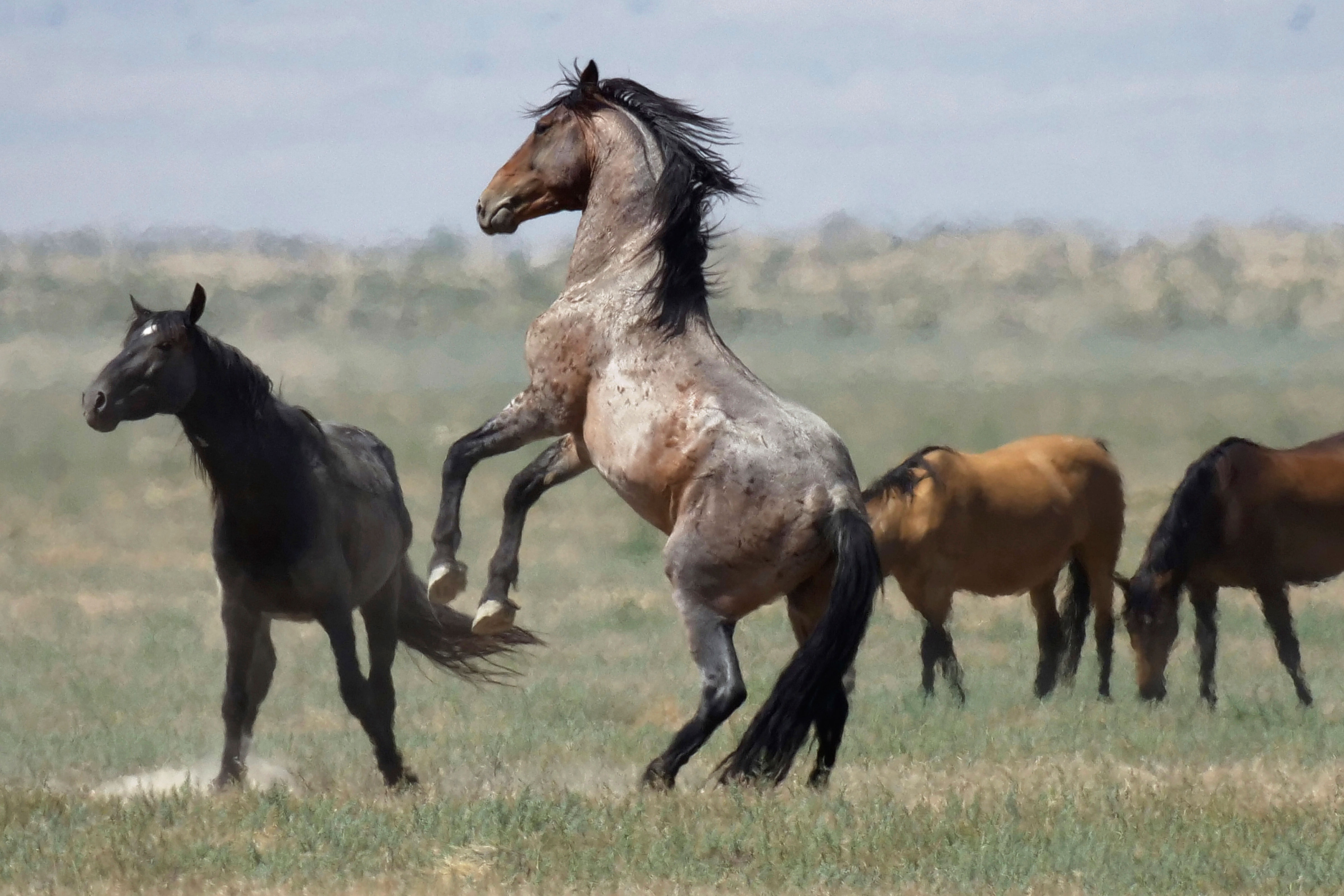 A wild horse jumps among others near Salt Lake City, July 18, 2018. The U.S. government is seeking new pastures for thousands of wild horses that have overpopulated Western ranges.