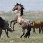 If You Have Pasture To Spare The Feds Need More Space For Overpopulated Wild Horses Colorado Public Radio