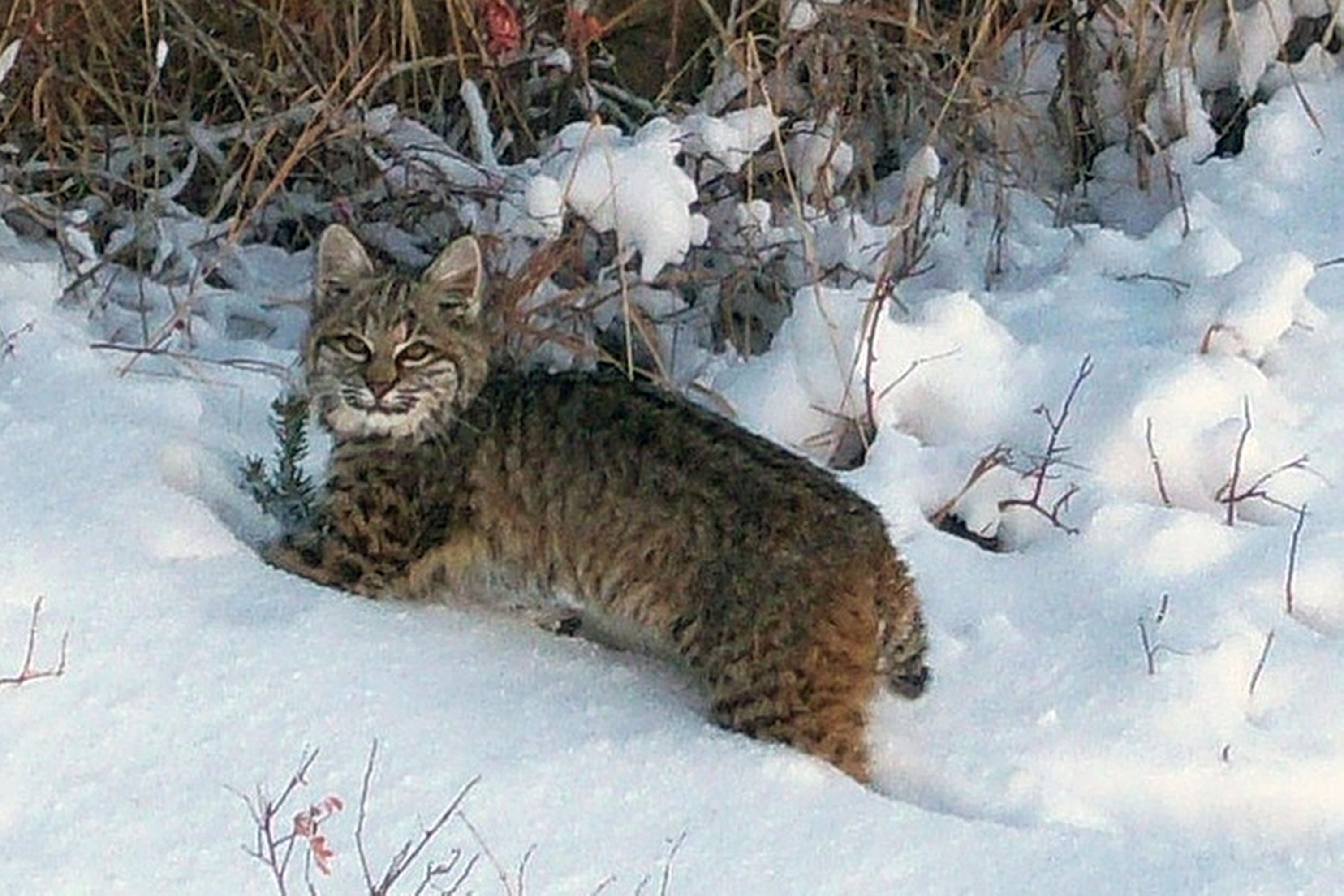 <p>This Oct. 20, 2010 photo provided by the U.S. Fish and Wildlife Service shows a bobcat making its way through the snow in northern New Mexico. </p>