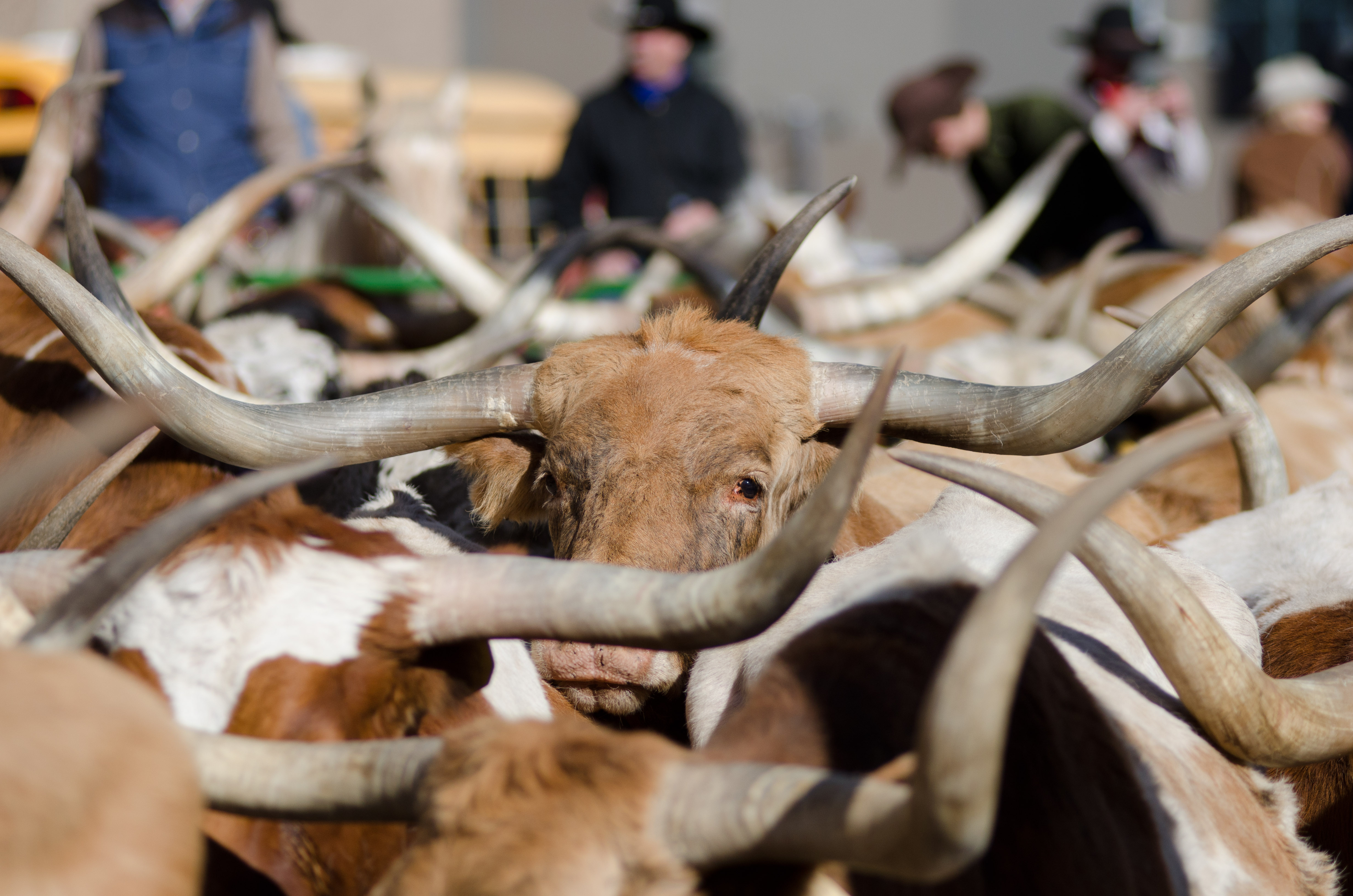 <p>Texas longhorns are penned up at the end of the National Western Stock Show Parade in downtown Denver on Thursday, Jan. 8, 2015.</p>