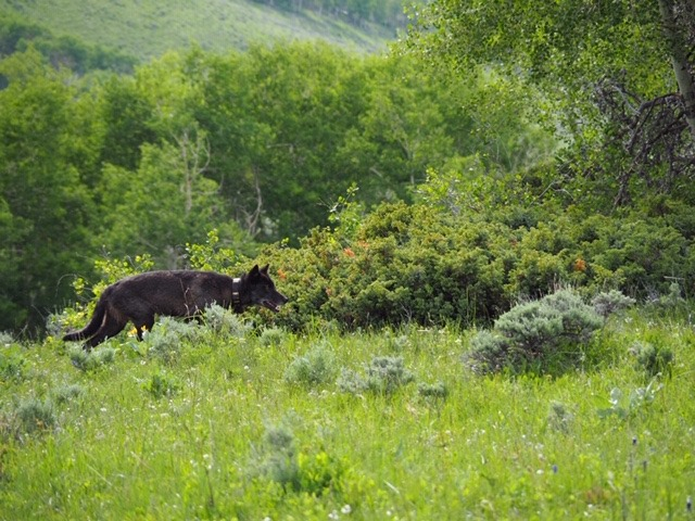 The gray wolf recently sighted in Jackson County has been confirmed as a dispersing male from Wyoming.