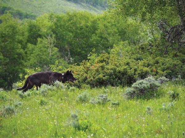 The wolf spotted in Jackson County, Colorado traveled from the Yellowstone area in Wyoming.