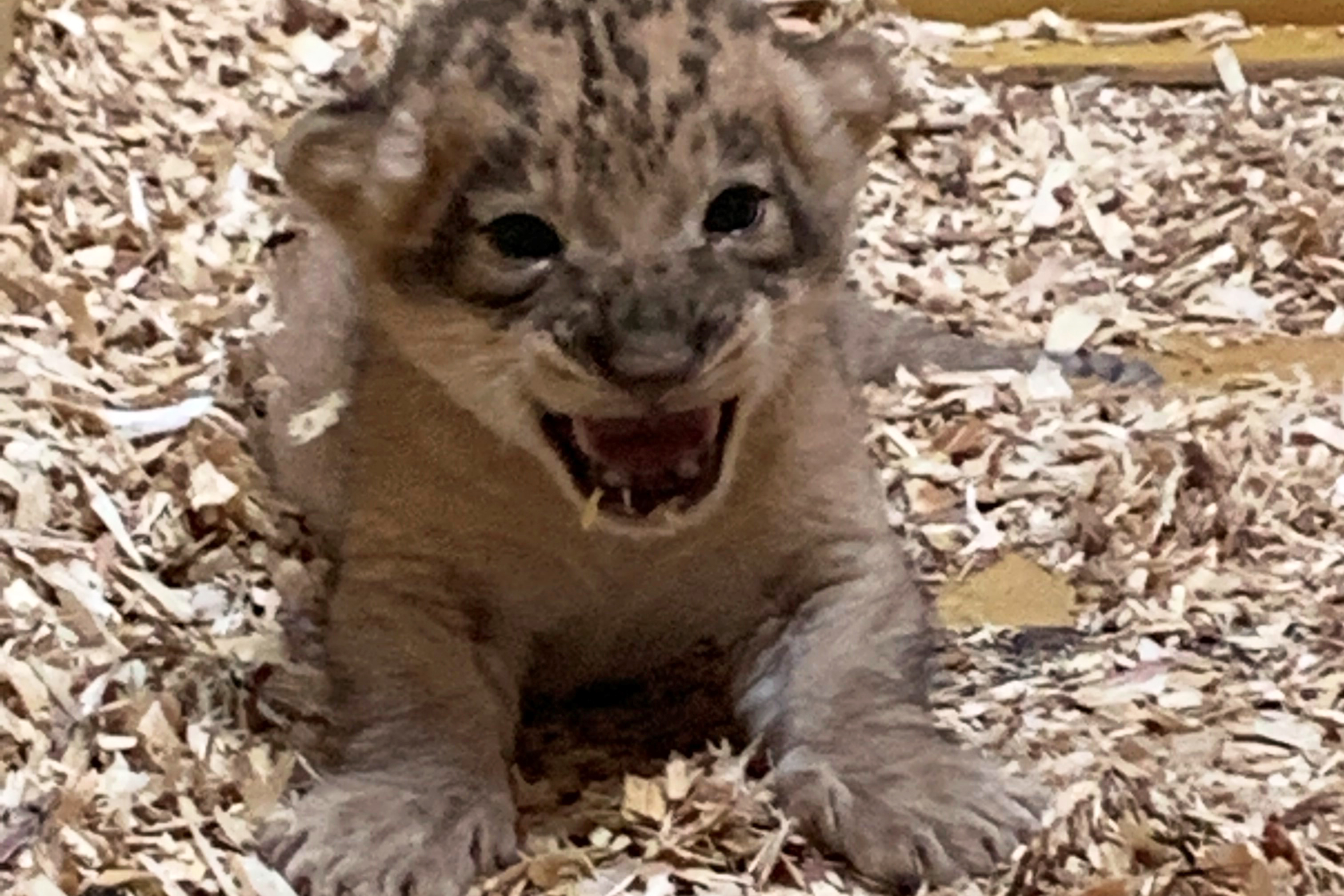 The lion cub born in the Denver Zoo July 25 explores his den box.  The African lion was born to mom Neliah, 7, and dad Tobias, 3.