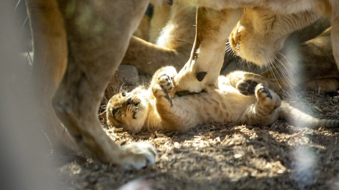 Denver Zoo's new and yet-unnamed baby lion is revealed to the public. Sept. 18, 2019.