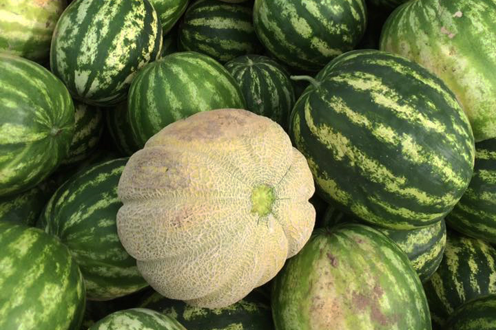A Greeley Wonder melon sits among a watermelon crop from the 2017 harvest at Monroe Organic Farm.