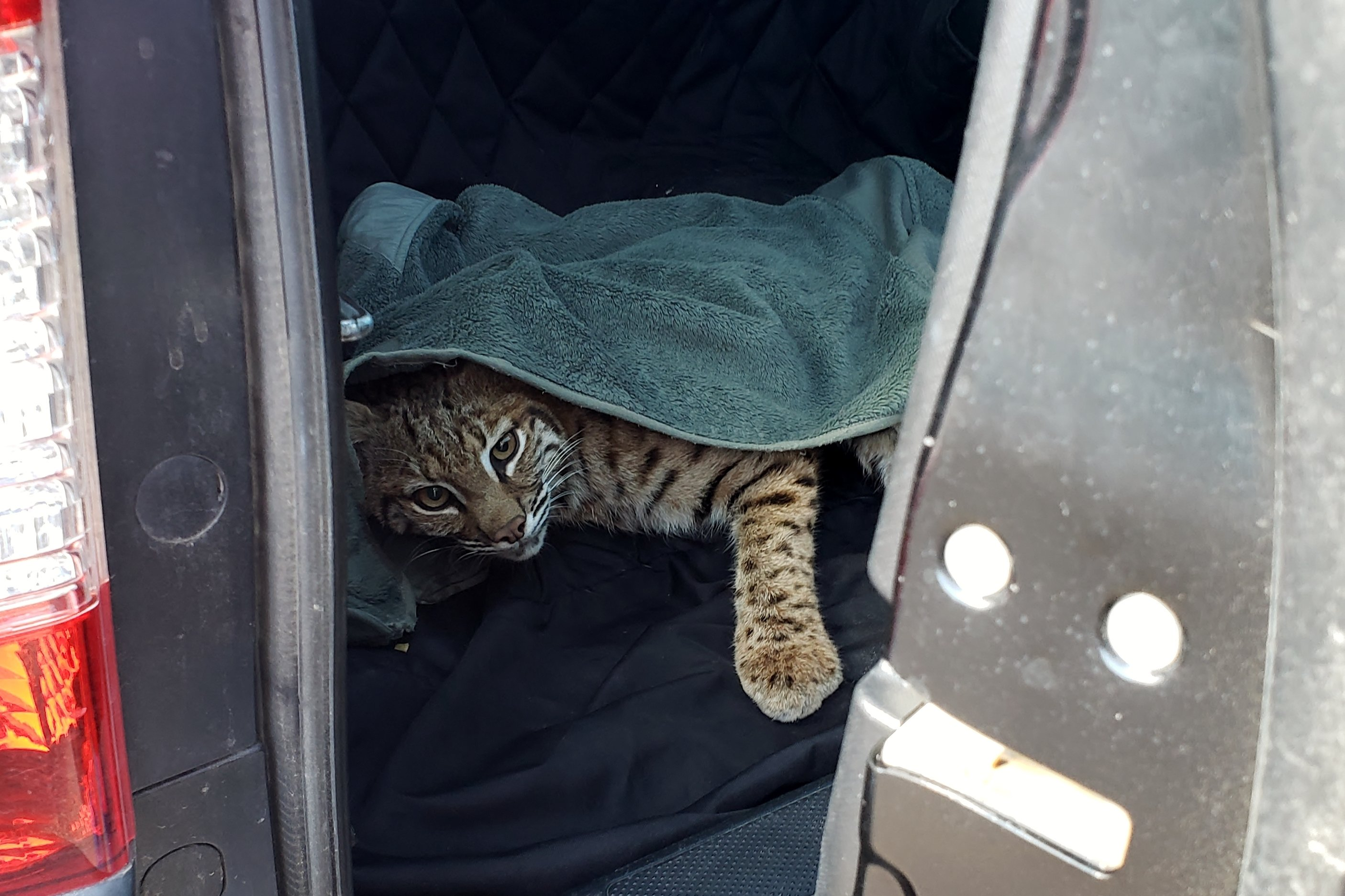 In this photo taken Wednesday, Sept. 18, 2019, provided by Colorado Parks and Wildlife, an injured bobcat stares from the back of an SUV after a Colorado Springs, Colo., woman placed it in her car, just inches away from where her child was sitting in a safety seat.
