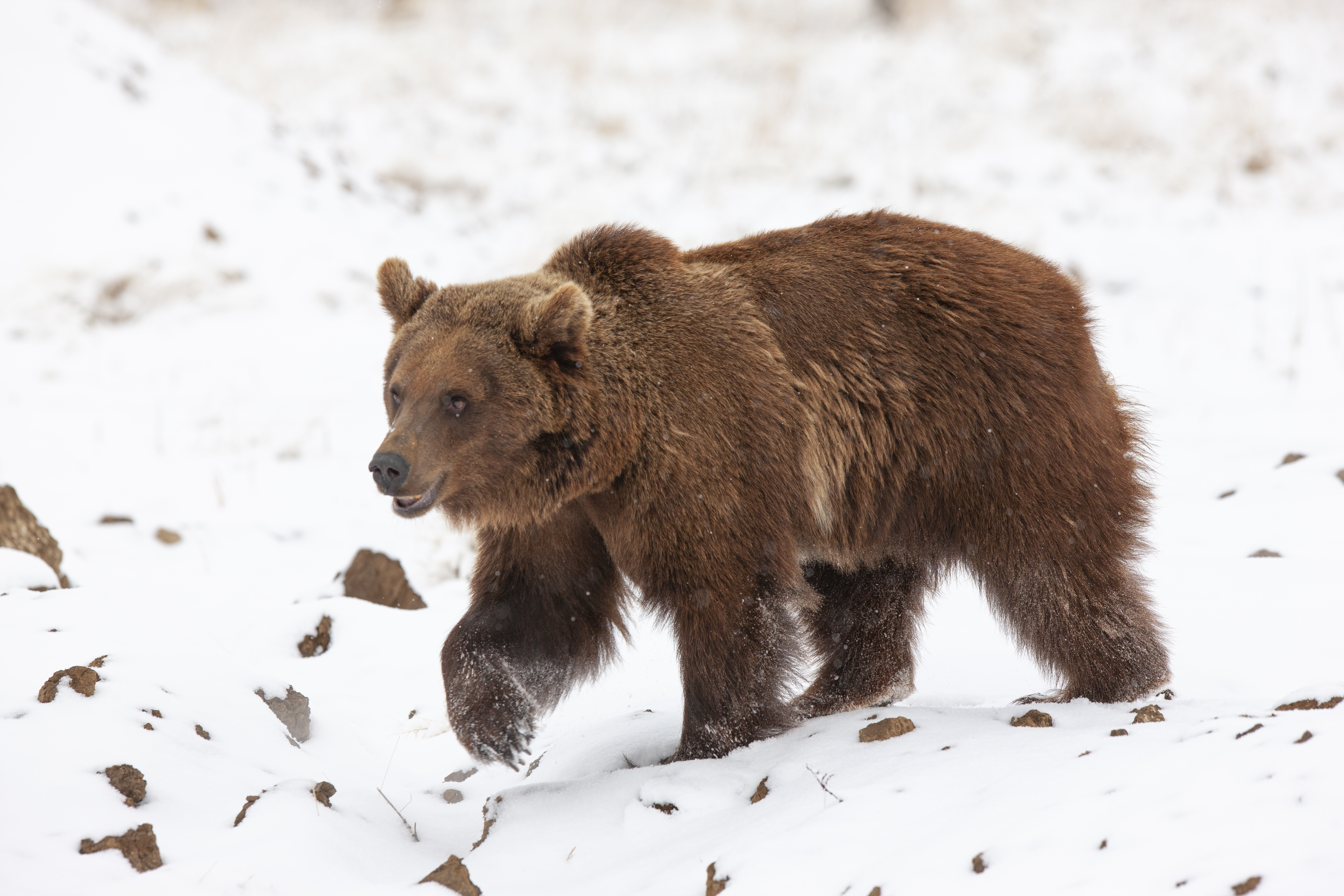 One of 10 grizzly bears relocated from Argentina to Colorado walks at the Wild Animal Sanctuary in Keenesburg.