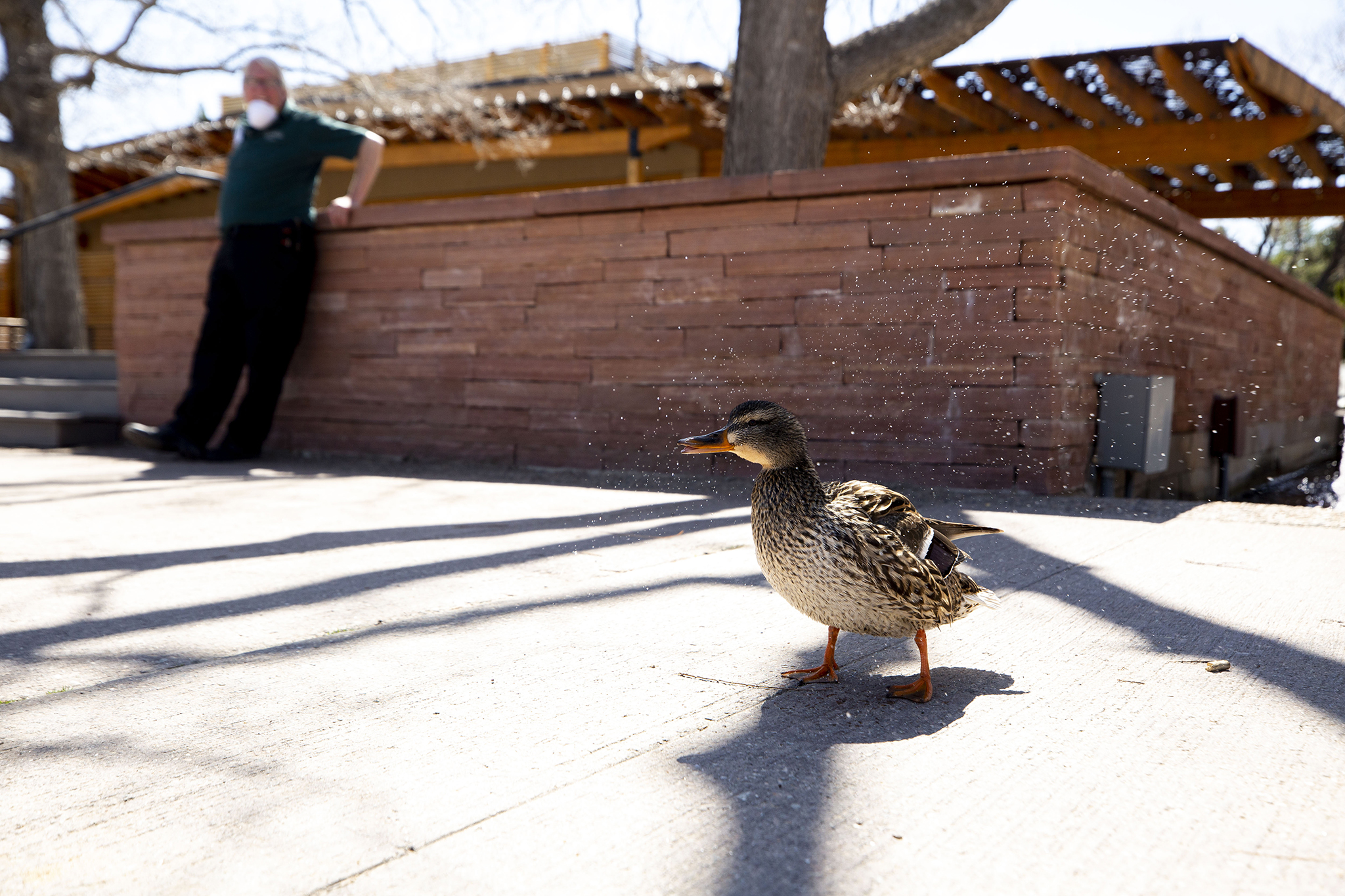 A duck shakes it off at the Denver Botanic Gardens, April 7, 2020.