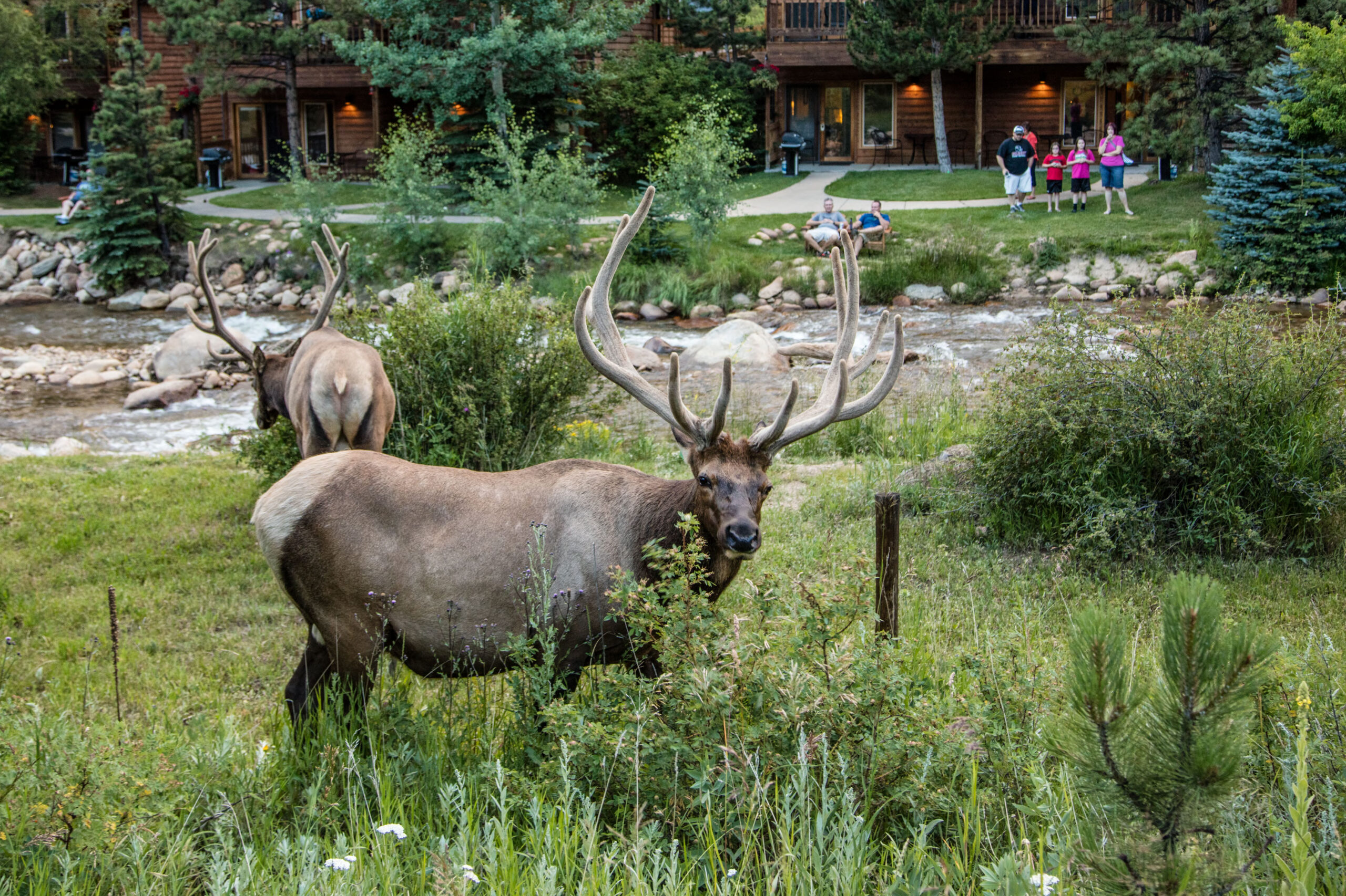 Elk make themselves at home in the brush at the Woodlands at Fall River Suites mountain resort in Estes Park, a town on the eastern edge of Rocky Mountain National Park.
