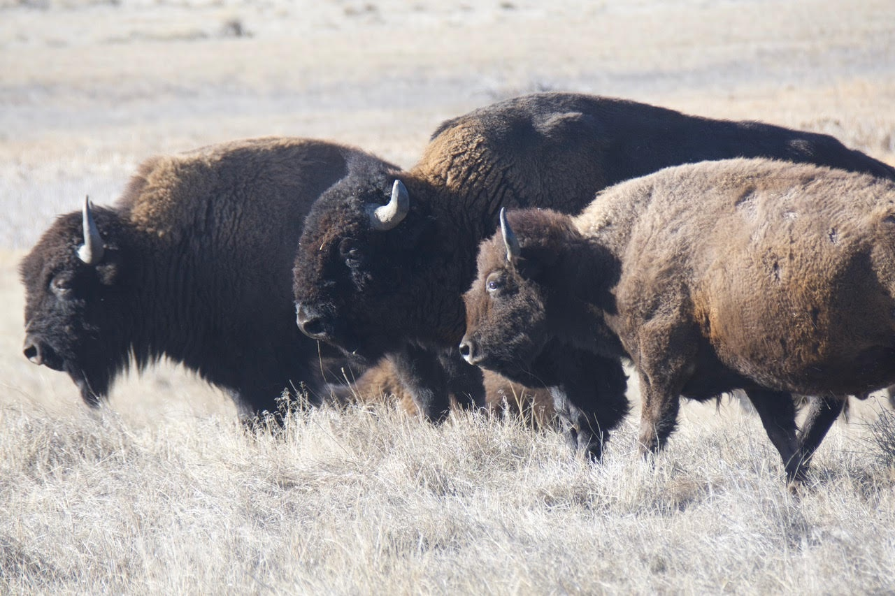 A herd of bison lives at the Rocky Mountain Arsenal National Wildlife Refuge in suburban Denver.