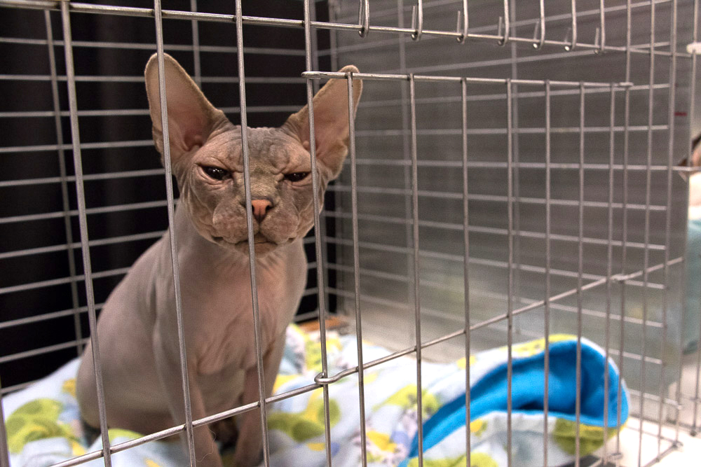 Upstairs at the Denver County Fair's Kitten Pavilion, this sphinx cat