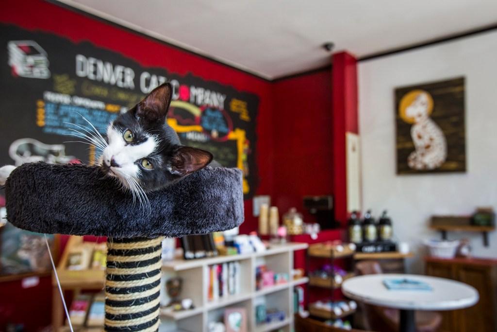Denver Cat Cafe. (Courtesy of Denver Cat Cafe)