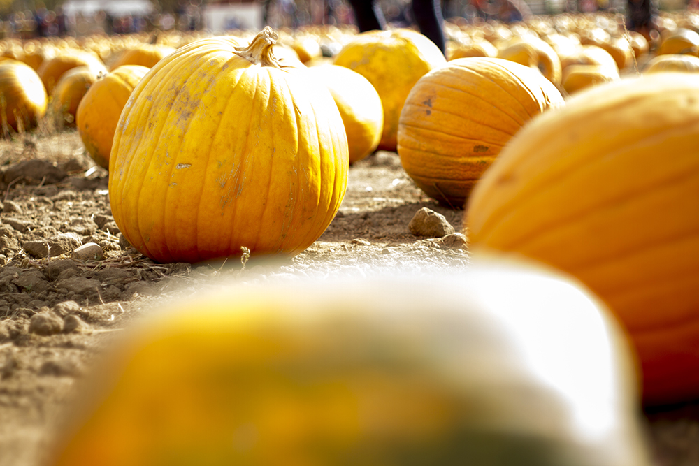 The Cottonwood Farm pumpkin patch in Boulder. (Kevin J. Beaty/Denverite)  weather; cowx; autumn; fall; colorado; denver; kevinjbeaty; denverite; colorado;