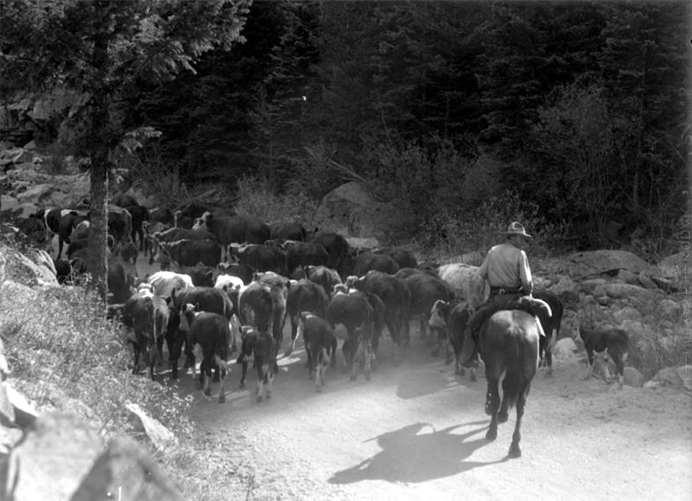 An unidentified man on horseback herds a group of cattle down a dirt road, possibly in Gilpin County, Colorado. Between 1935 and 1950. (Donald Kemp/Denver Public Library/Western History Collection/K-46)  five points; historic; denver public library; dpl; archive; archival; denverite