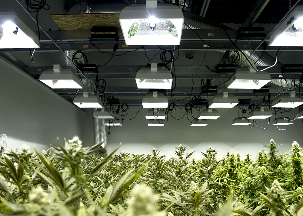 Marijuana at Verde Natural's grow facility. (Kevin J. Beaty/Denverite)