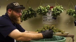 Trimmer Daniel Newkirk works inside Verde Natural's grow facility. (Kevin J. Beaty/Denverite)