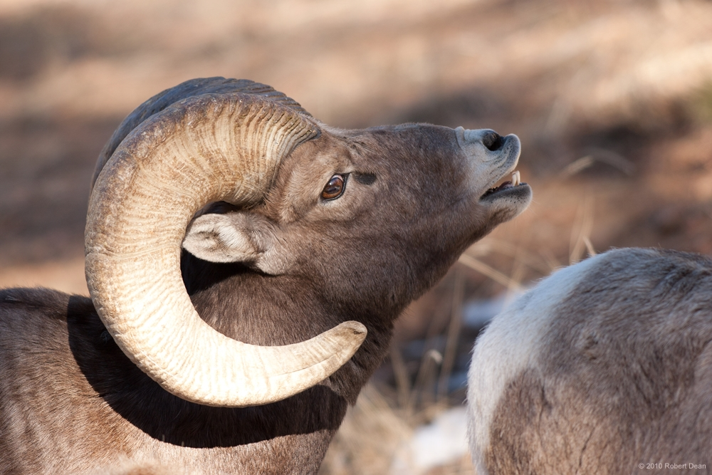 A big-horn sheep. (Courtesy Bob Dean, viewsofnaturephoto.com)