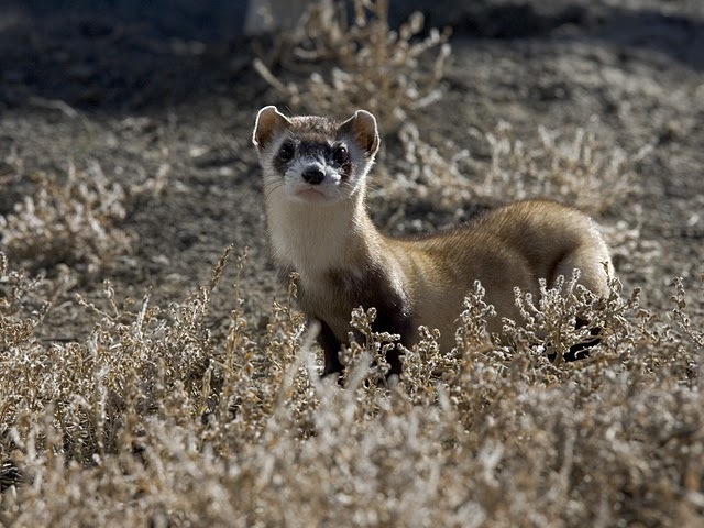 Black-footed ferrets are making wild babies at Rocky Mountain Arsenal National Wildlife Refuge. (Ryan Hagerty, U.S. Fish and Wildlife Service via Flickr)