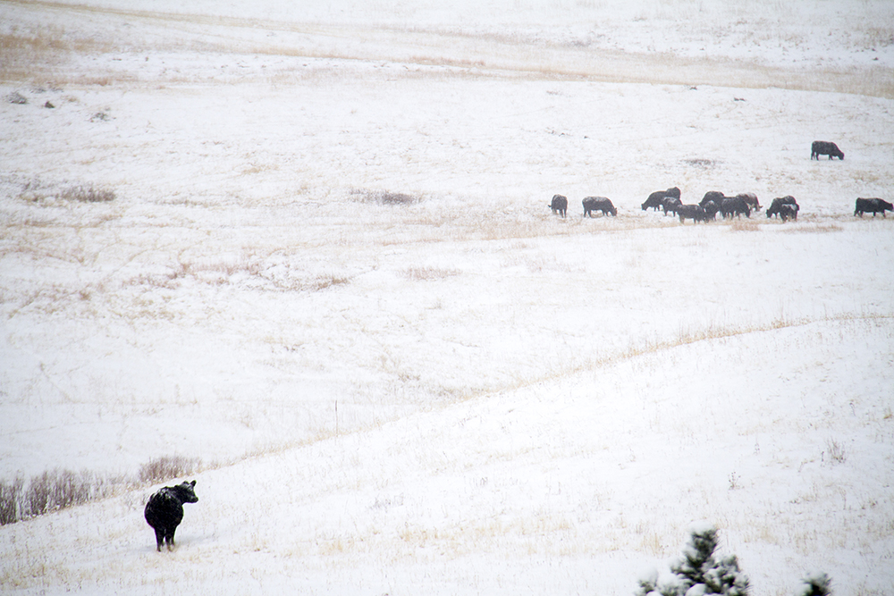 Snow and cows in Jefferson County off Highway 93. (Kevin J. Beaty/Denverite)  cowx; weather; cold; snow; winter; kevinjbeaty; denver; colorado; denverite;