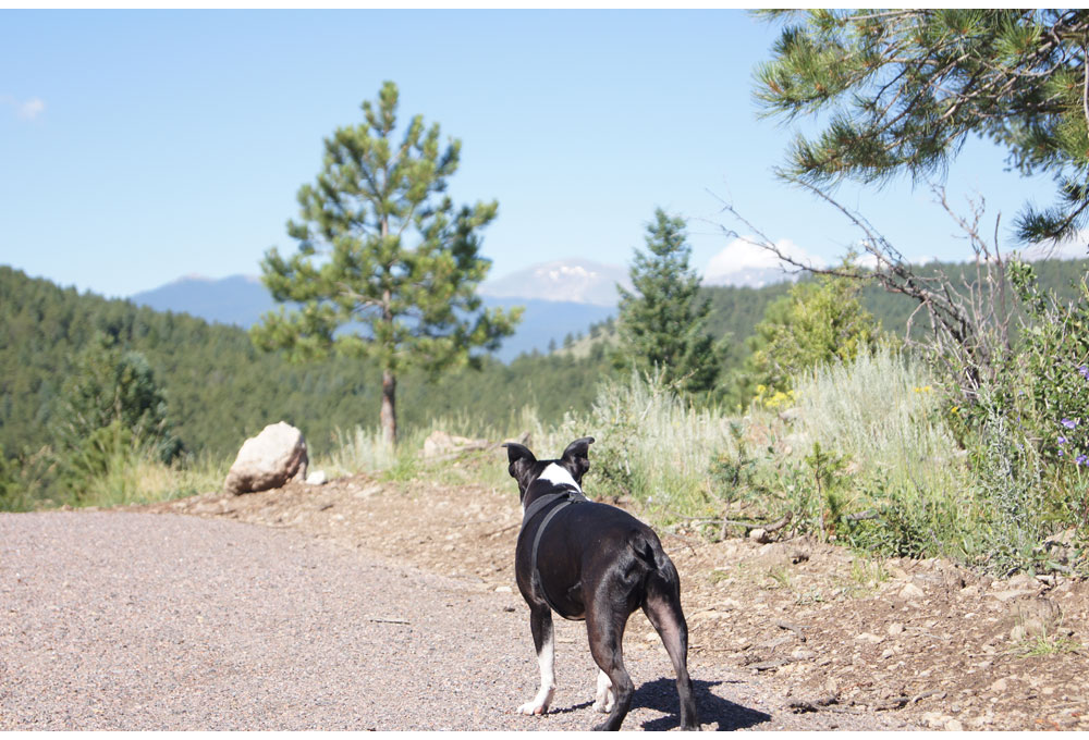 A dog at the Elk Meadow dog park. (Jeffco Open Space)
