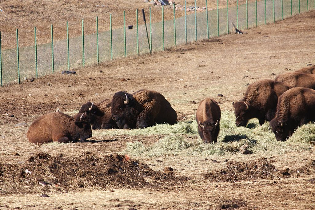 Bison at Genesee Park. (Postdlf/Wikimedia Commons/CC-BY-SA-3.0)