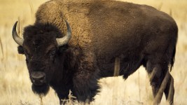 Bison at Rocky Mountain Arsenal, Feb. 12, 2017. (Kevin J. Beaty/Denverite)  rocky mountain arsenal; kevinjbeaty; denver; colorado; denverite; nature; buffalo; bison; animals;