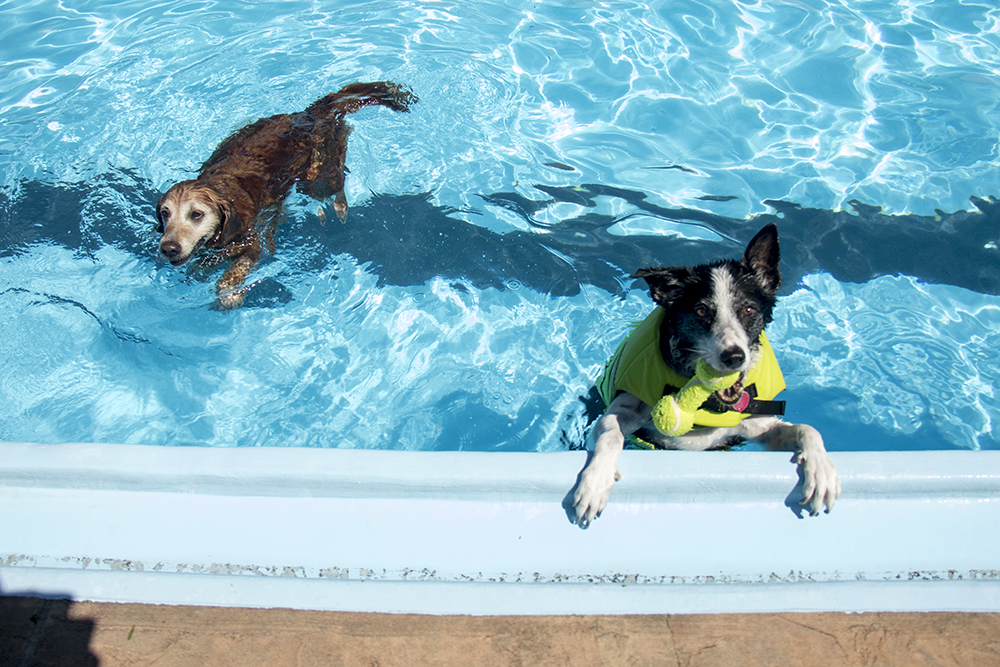 Butch Cassidy (right) and Rudy hang out in the pool. Dog-a-Pool-ooza at Cook Park Pool, Aug. 13, 2017. (Kevin J. Beaty/Denverite)  public pool; dogs; pets; Dog-a-Pool-ooza; cook park; denverite; colorado; kevinjbeaty; denver;