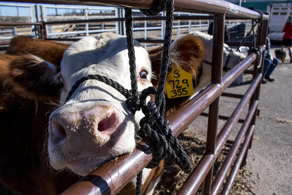 Oh hello. Officials unveil new plans for the National Western Center, Dec. 12, 2017. (Kevin J. Beaty/Denverite)  denver; colorado; denverite; kevinjbeaty; national western center; national western stock show; development;