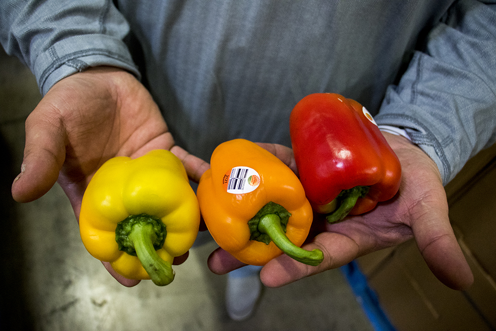Suntastic Produce's operations manager Nolan Smith holds some sub-premium peppers that have been rejected for use in grocery stores. A ride-along with We Don't Waste, Dec. 18, 2017 (Kevin J. Beaty/Denverite)  denver; colorado; denverite; food insecurity; food; sustainability;