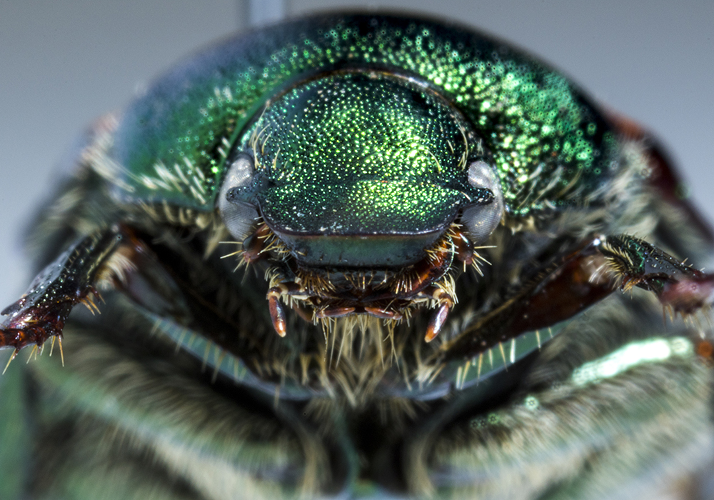 A Japanese beetle in the Denver Museum of Nature and Science's Zoology Collection. (Kevin J. Beaty/Denverite)  denver museum of nature and science; dmns; science; biology; archival; denver; colorado; denverite; kevinjbeaty;