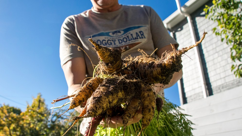 Paul Heitzenrater holds carrots from the garden in his Montclair backyard, Oct. 12, 2018. (Kevin J. Beaty/Denverite)