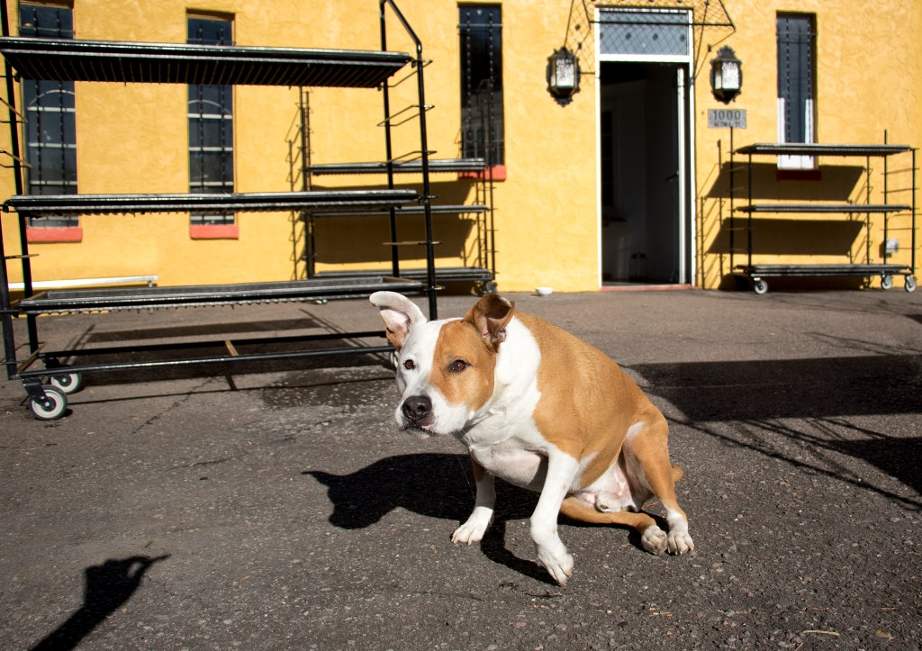 Henry the flower shop dog heads for a treat in front of the soon-opening Plant Garage, which will replace Urban Roots in the Golden Triangle area, Nov. 13, 2018. (Kevin J. Beaty/Denverite)