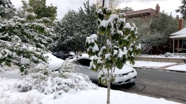 A sapling after a fall snowstorm, Oct. 10, 2019. (David Sachs/Denverite)